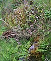 Ferns and wildflowers - geograph.org.uk - 450529.jpg