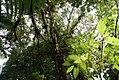 Ficus dammaropsis 3zz.jpg