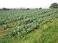 Field of Cauliflowers - geograph.org.uk - 1021825.jpg