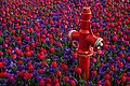 Fireplug Among Tulips - panoramio.jpg