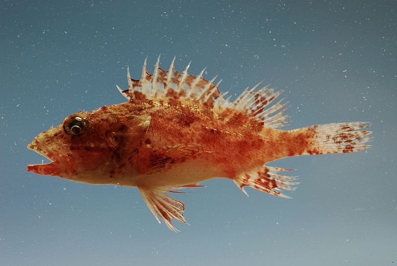 Fichier:Fish4349 - Flickr - NOAA Photo Library.jpg