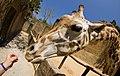 Fisheye Giraffe (5678128597).jpg