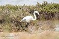 Flamingo-2 (28615515326).jpg