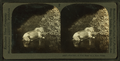 Flashlight of wild moose in the Maine forest, from Robert N. Dennis collection of stereoscopic views.png