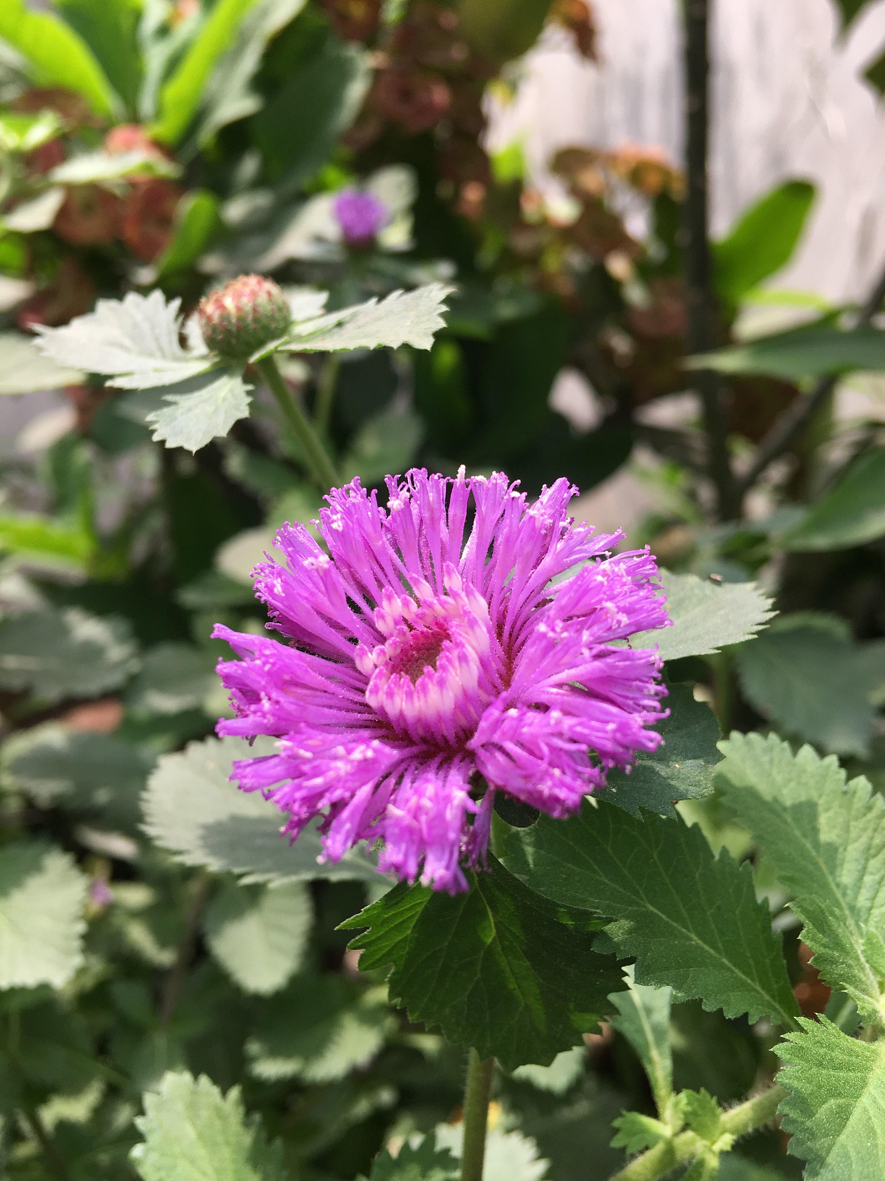 File Fleur De Verveine 2 Jpg Wikimedia Commons