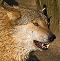 Flickr - Laenulfean - wolf.jpg