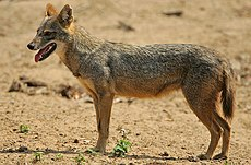 Flickr - Rainbirder - Golden Jackal.jpg