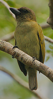 Flickr - Rainbirder - Green Barbet (Stactolaema olivacea) (cropped)