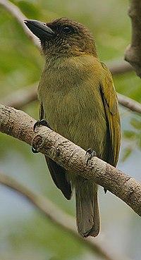 Flickr - Rainbirder - Green Barbet (Stactolaema olivacea) (cropped)
