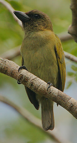 Flickr - Rainbirder - Green Barbet (Stactolaema olivacea) (cropped).jpg