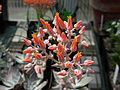 Flickr - brewbooks - Echeveria - Sandy and Ted's Garden.jpg