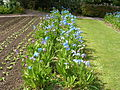 Flickr - brewbooks - Field of Meconopsis x sheldonii 'Lingholm'.jpg