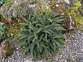 Flickr - brewbooks - To be Identified Fern.jpg