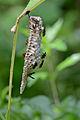 Flickr - ggallice - Paper wasps.jpg