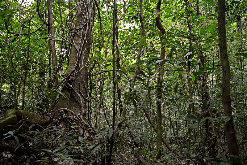 File:Flickr - ggallice - Rainforest (1).jpg