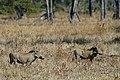 Flickr - ggallice - Warthogs.jpg