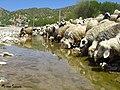 Flock Bakhtiari nomads - panoramio.jpg