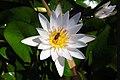 Flor de Loto y una pequeña abeja..JPG