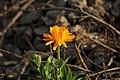 Flor naranja (5822852298).jpg