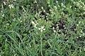 Flora della Sardegna 247 (02).jpg
