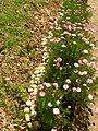 Flores, Kinkaku-Ji - panoramio.jpg