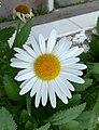 Flores de Guaramiranga CE - White.jpg