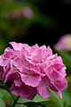 """Flower, Hydrangea """"Mme Plumecoq"""" - Flickr - nekonomania.jpg"""