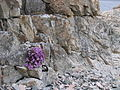 Flower in stone (kvaloya norway).jpg