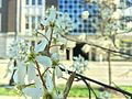 Flowering trees outside Cambell Hall 3.jpg