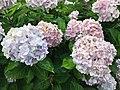 Flowers of Hydrangea macrophylla 20200618-3.jpg