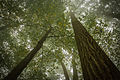 Foggy Forest (21835502659).jpg