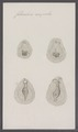 Folliculina ampulla - - Print - Iconographia Zoologica - Special Collections University of Amsterdam - UBAINV0274 091 05 0004.tif