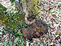 Fomitopsis pinicola-Dordogne 04.JPG