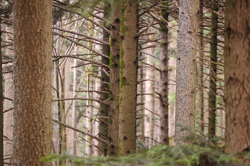 File:Forêt vosgienne près de Barr, Bas-Rhin.jpg