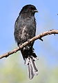 Fork-tailed Drongo, Dicrurus adsimilis, at Marakele National Park, Limpopo, South Africa (16384392866).jpg
