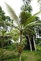 Fougère arborescente à São Tomé (1).jpg