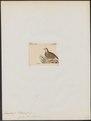 Francolinus gularis - 1820-1863 - Print - Iconographia Zoologica - Special Collections University of Amsterdam - UBA01 IZ17100081.tif