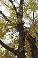 Fraxinus mandshurica.JPG