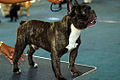 French Bulldog brindle standing.jpg