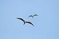 Frigatebird - Playa del Carmen, Quintana Roo, Mexico - August 20, 2014 02.jpg