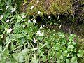 Fringed Grass of Parnassus (Parnassia fimbriata) - Waterton Lakes National Park - Flickr - Jay Sturner (2).jpg
