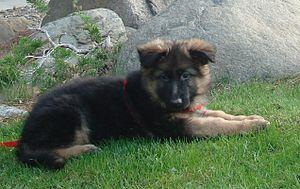 English: 9-week-old German Shepherd puppy.