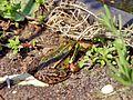 Frog Rex 3.jpg