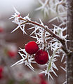 Frosted Berries 1 (5237543619).jpg