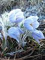 Frosty Pasque Flower (Pulsatilla patens) (7029427891).jpg