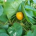 Fruit de pok pok mûr.jpg