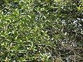 Fruits in banyan tree.JPG