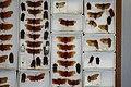 Fulgoridae Drawers - 5036077545.jpg