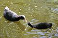 Fulica atra feeding chick.jpg