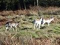 GOC Richmond 073 Fallow deer (Dama dama) (14456009318).jpg